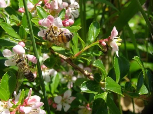 Les mouches à miel .