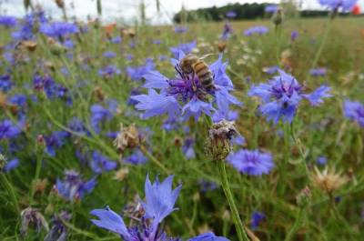 b2ap3_thumbnail_abeille-sur-bleuet.JPG