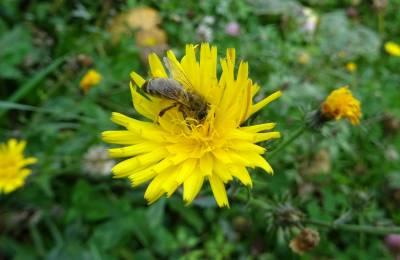 b2ap3_thumbnail_autre-abeille.JPG